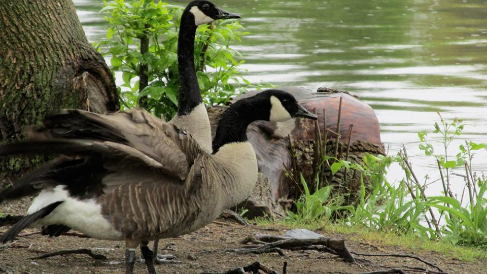 The Great Goose Rescue From Wgbh Roof To Charles River